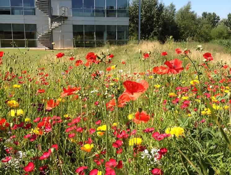 Wildflowers added by hydroseeding